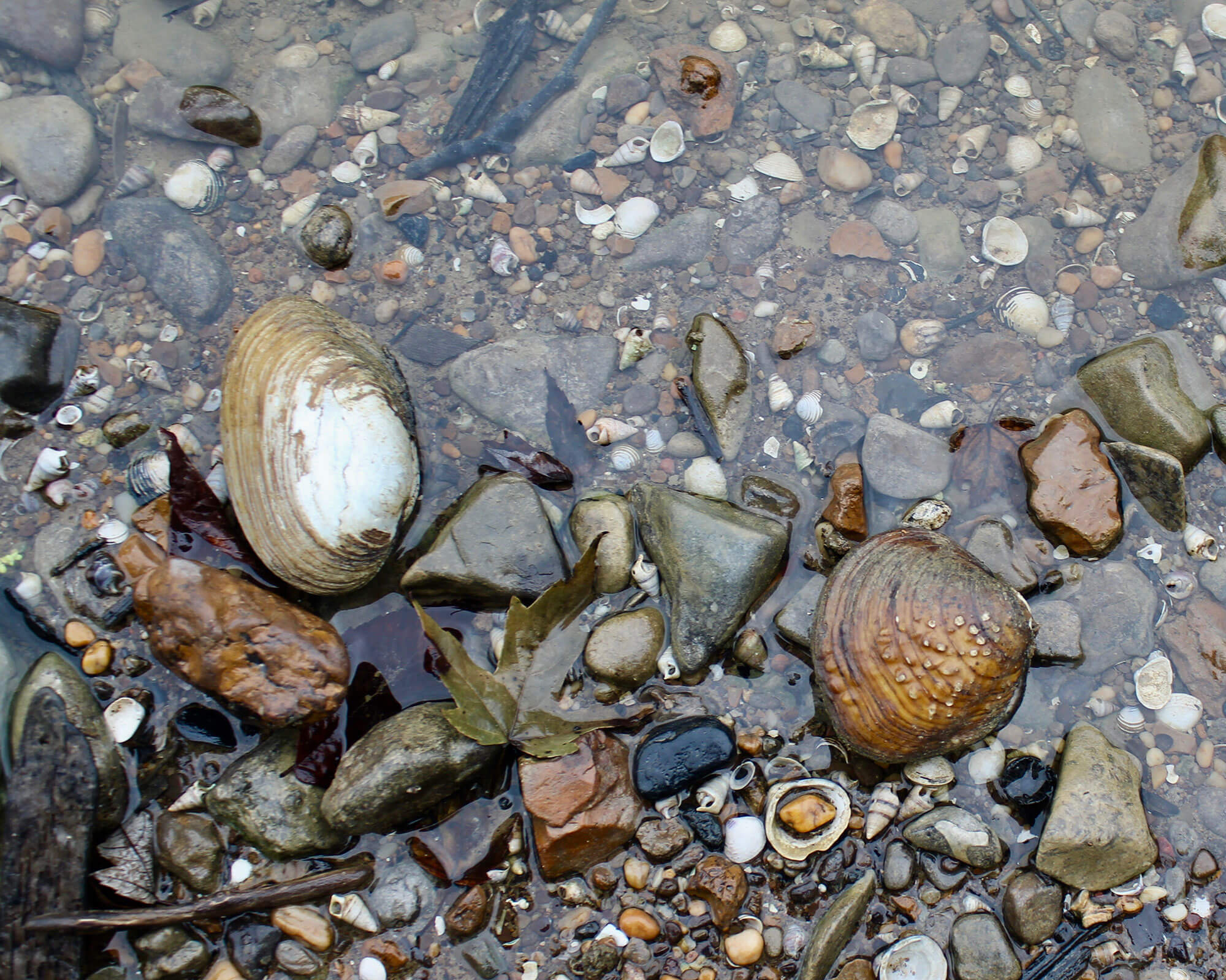 The riverbank is covered in shells on this stretch of the Licking River near Butler, Kentucky. (Photo by Carrie Blackmore Smith/PublicSource)